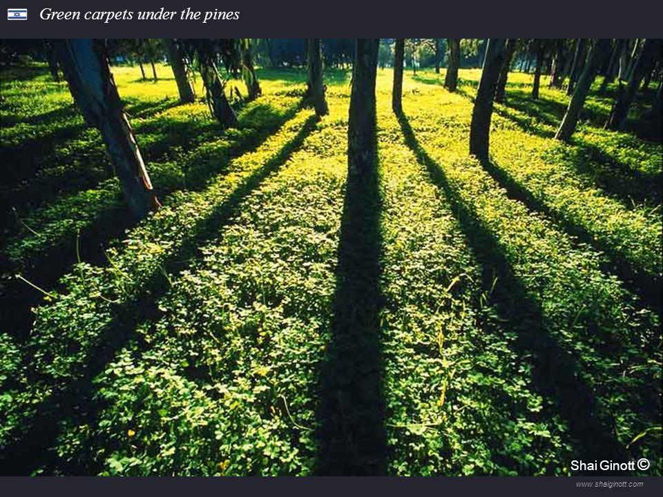 www.shaiginott.com Sunrise in the Ilanot Forest Shai Ginot Shai Ginott ©