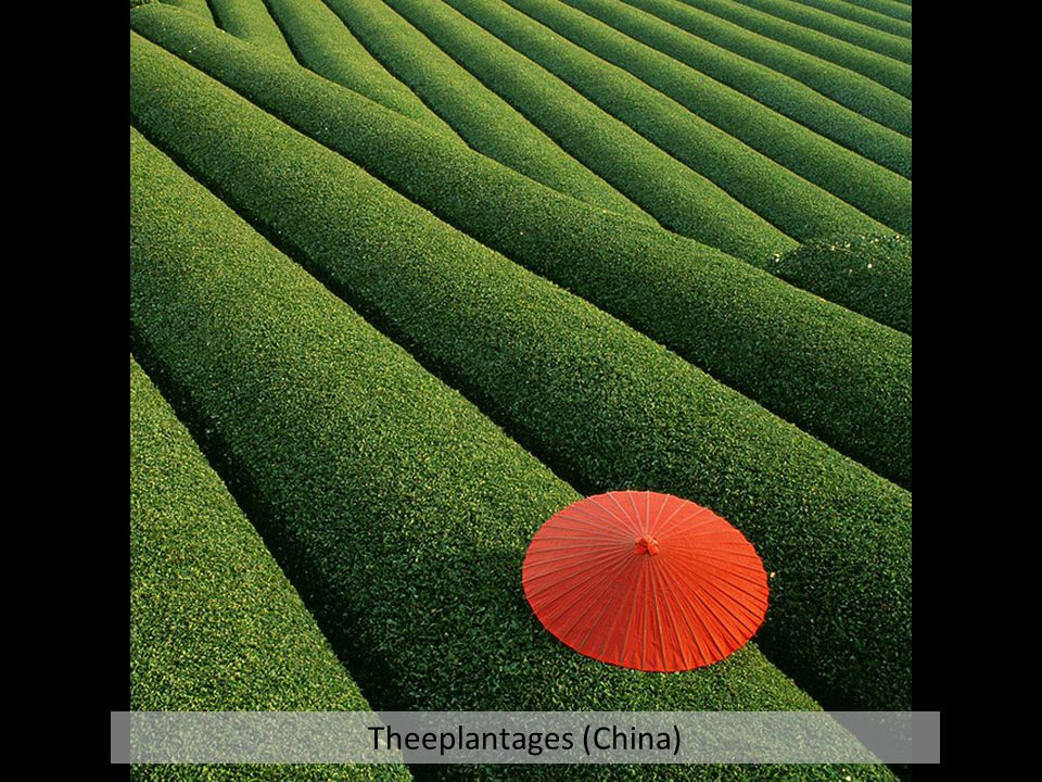 Theeplantages (China)