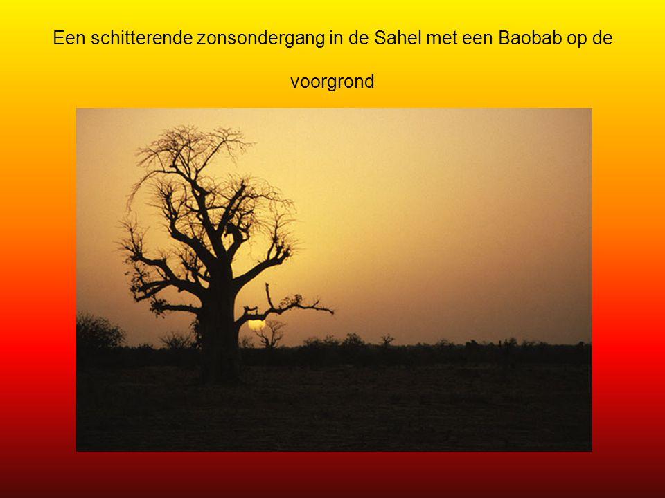 Een schitterende zonsondergang in de Sahel met een Baobab op de voorgrond