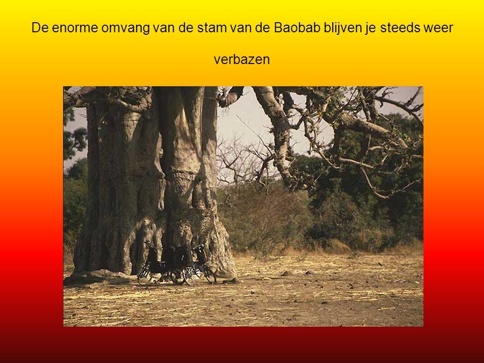 De enorme omvang van de stam van de Baobab blijven je steeds weer verbazen