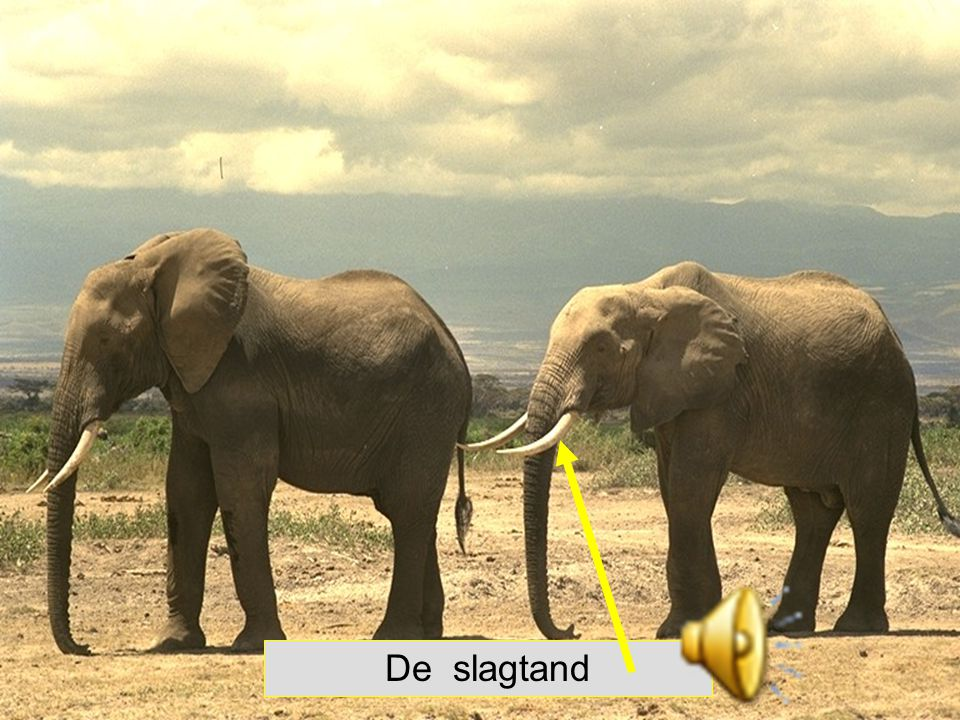 Nijlpaarden hebben grote hoektanden.