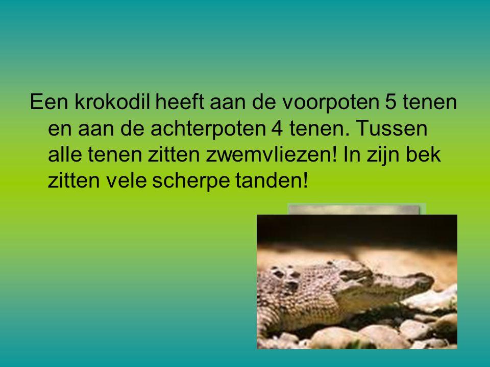Hoe oud worden krokodillen »De meeste krokodillen worden 50-100 jaar. dat is uitzonderlijk lang. De mens wordt ook ongeveer zo oud.