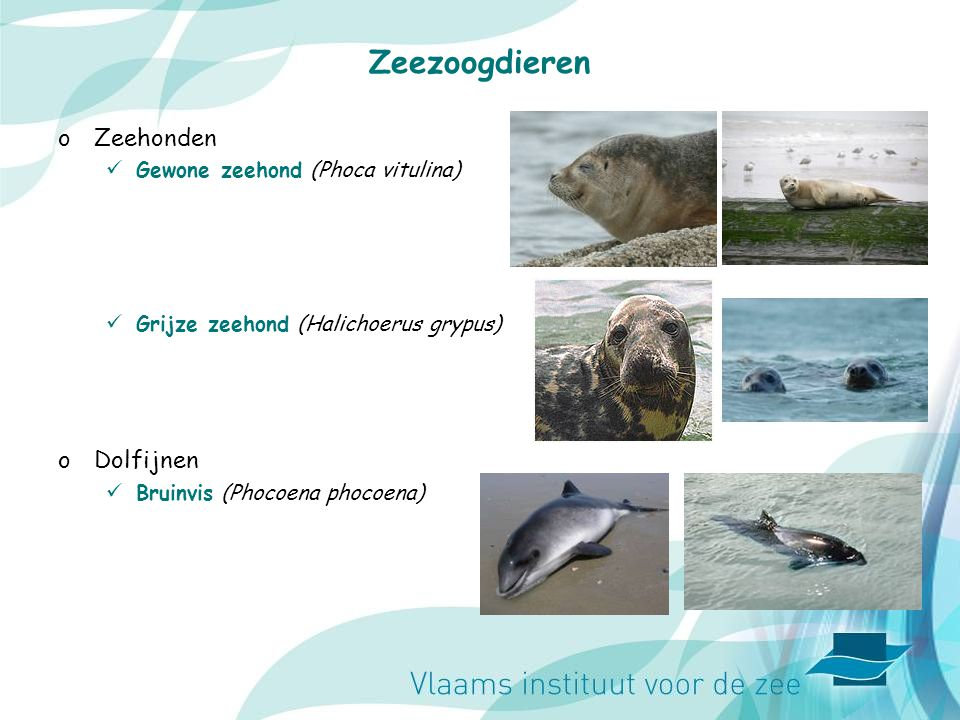 Zeezoogdieren oZeehonden Gewone zeehond (Phoca vitulina) Grijze zeehond (Halichoerus grypus) oDolfijnen Bruinvis (Phocoena phocoena)