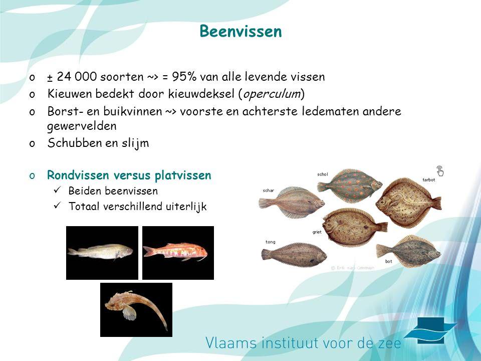 Beenvissen o± 24 000 soorten ~> = 95% van alle levende vissen oKieuwen bedekt door kieuwdeksel (operculum) oBorst- en buikvinnen ~> voorste en achterste ledematen andere gewervelden oSchubben en slijm oRondvissen versus platvissen Beiden beenvissen Totaal verschillend uiterlijk
