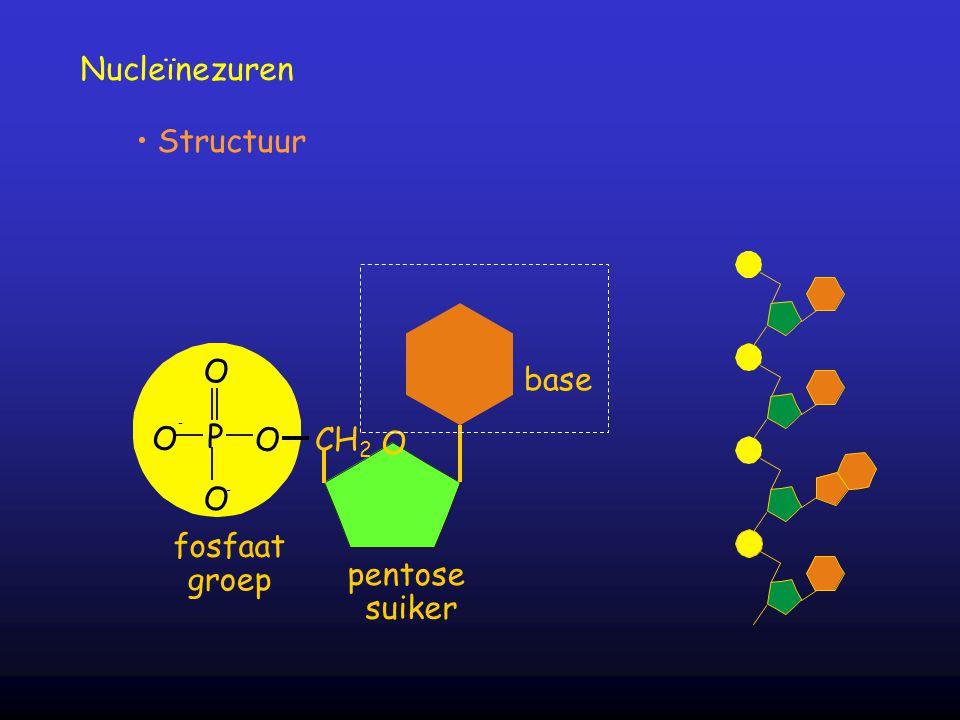 Nucleïnezuren Structuur O O - P O O - fosfaat groep O CH 2 pentose suiker base