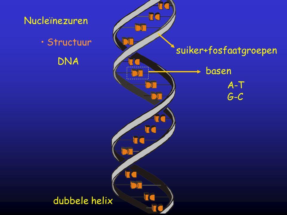 suiker+fosfaatgroepen basen A-T G-C Nucleïnezuren Structuur DNA dubbele helix