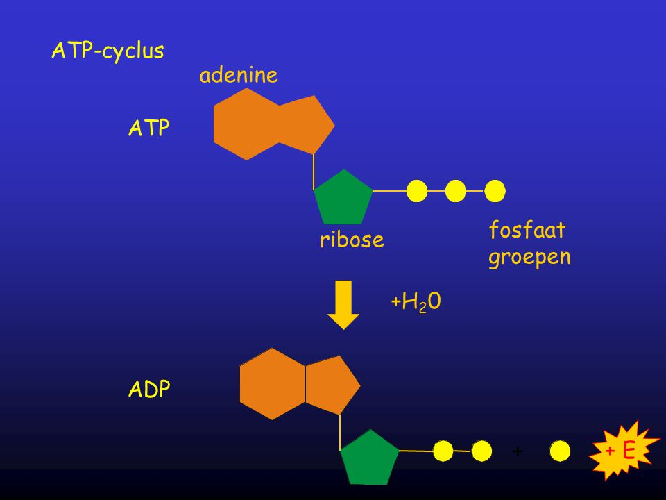 adenine ribose fosfaat groepen +H 2 0 ATP + + E ADP ATP-cyclus