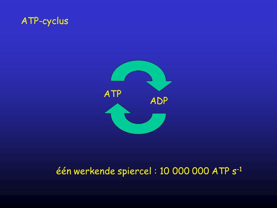 ATP ADP één werkende spiercel : 10 000 000 ATP s -1