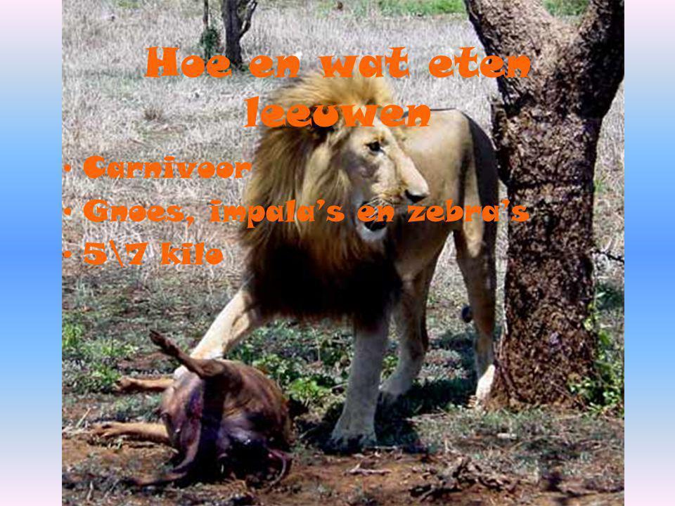Hoe en wat eten leeuwen Carnivoor Gnoes, impala's en zebra's 5\7 kilo