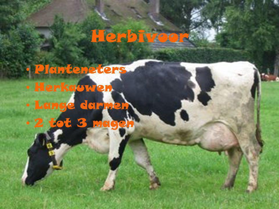 Herbivoor Planteneters Herkauwen Lange darmen 2 tot 3 magen