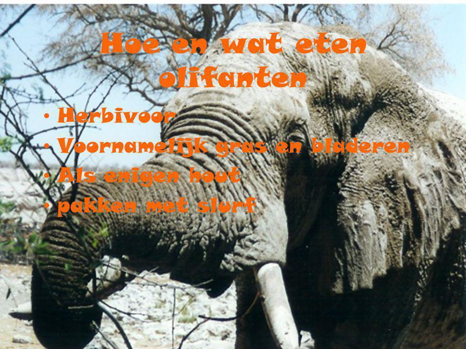 Hoe en wat eten olifanten Herbivoor Voornamelijk gras en bladeren Als enigen hout pakken met slurf