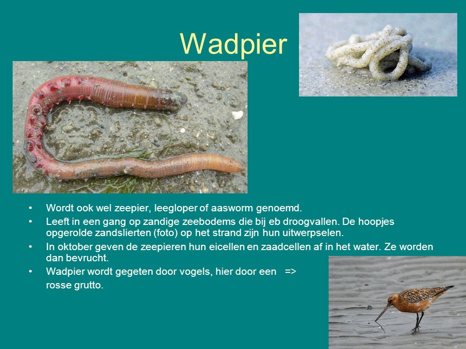 Wadpier Wordt ook wel zeepier, leegloper of aasworm genoemd. Leeft in een gang op zandige zeebodems die bij eb droogvallen. De hoopjes opgerolde zands