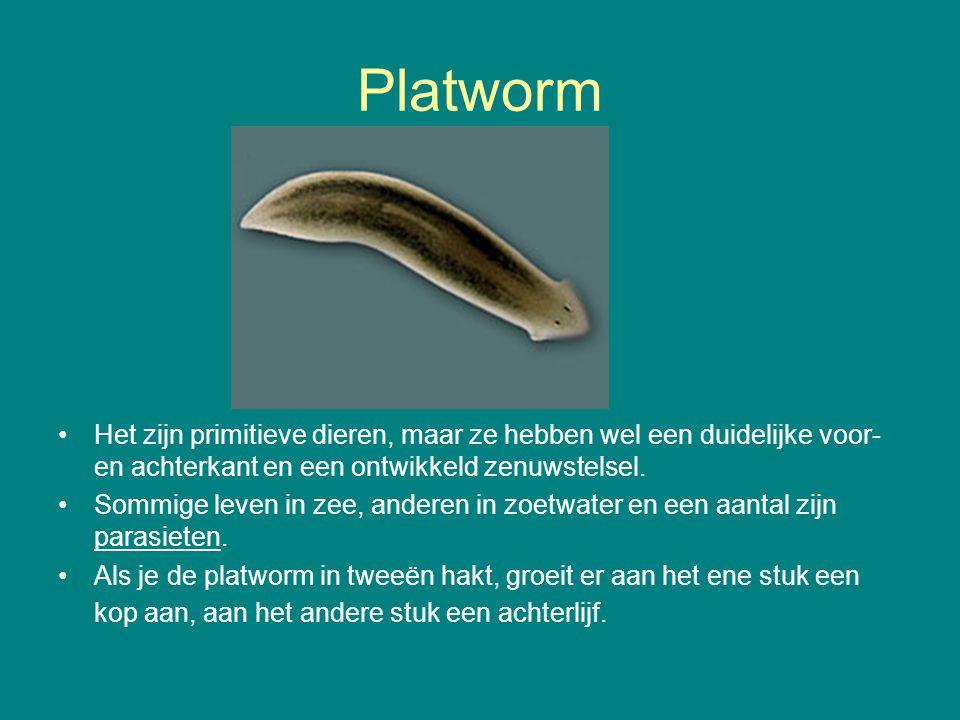 Platworm Het zijn primitieve dieren, maar ze hebben wel een duidelijke voor- en achterkant en een ontwikkeld zenuwstelsel. Sommige leven in zee, ander