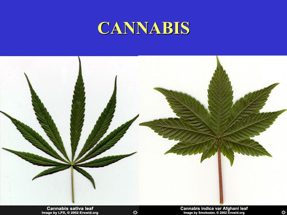 EFFECTEN BIJ GEBRUIK Marihuana en hasj versterken meestal een bepaald gevoel of een bepaalde stemming...