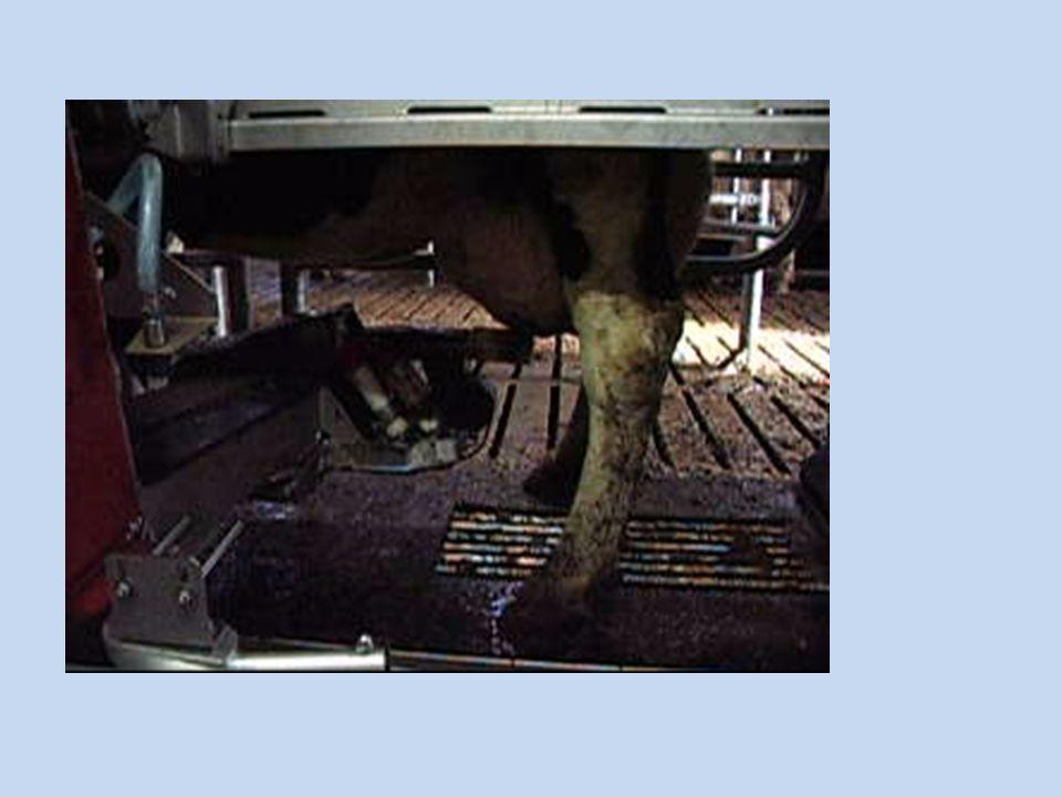 Voor- en nadelen van een melkrobot Aantal melkbeurten en productie per koe wordt geregistreerd Probleemkoeien: attentielijsten en grafieken uiergezondheid, melkkwaliteit Weegvloer Niet meer aan vaste melkuren gebonden Gemiddeld 2,6 keer per dag gemolken Problemen bij te laag hangende uier Hoge investeringskost +/- 110 000 € Hogere melkproductie arbeidsvoordeel