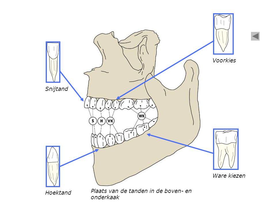 Plaats van de tanden in de boven- en onderkaak Snijtand Hoektand Voorkies Ware kiezen