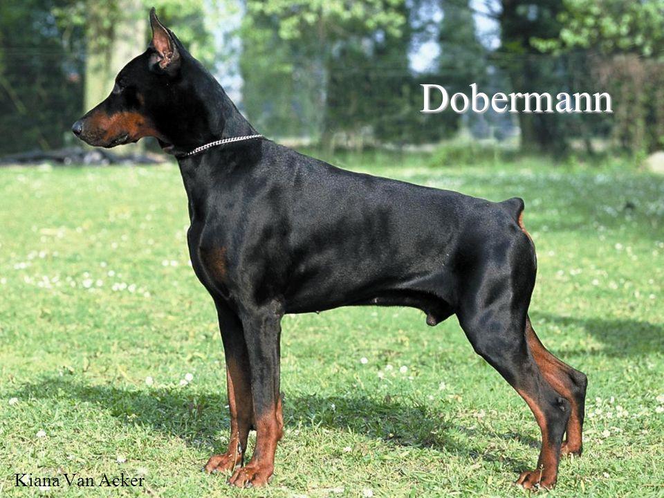 Dobermann Kiana Van Acker