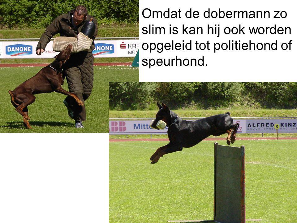 Je kan een dobermann zeer zeker houden als huisdier als je hem een goede opvoeding geeft. Hij is een goede waakhond. Het is een slimme en actieve hond