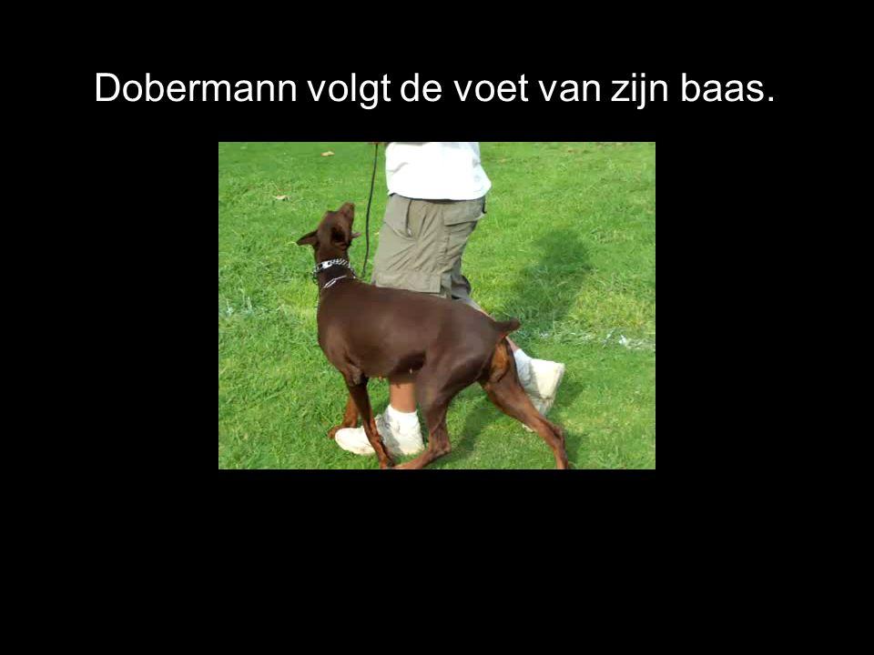 Omdat de dobermann zo slim is kan hij ook worden opgeleid tot politiehond of speurhond.