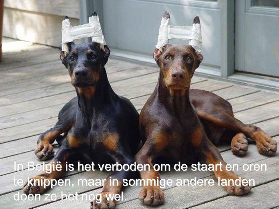 In België is het verboden om de staart en oren te knippen, maar in sommige andere landen doen ze het nog wel.