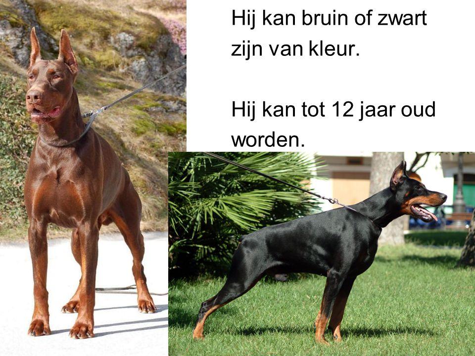 Hij kan bruin of zwart zijn van kleur. Hij kan tot 12 jaar oud worden.