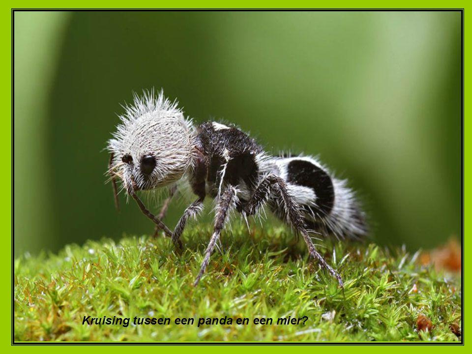 Kruising tussen een panda en een mier?