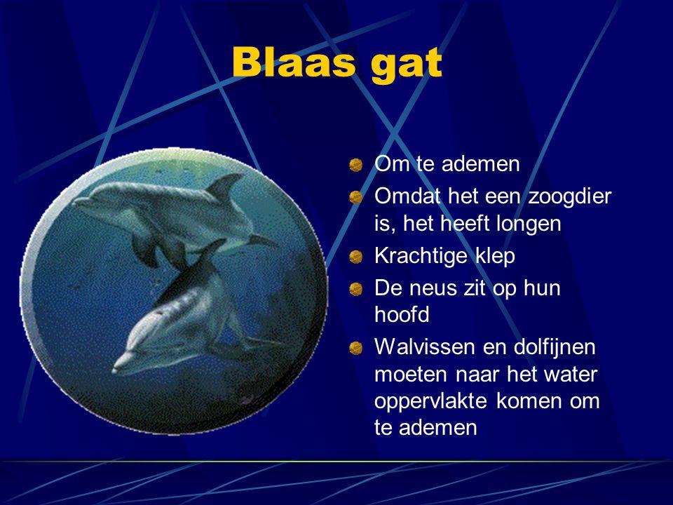 Blaas gat Om te ademen Omdat het een zoogdier is, het heeft longen Krachtige klep De neus zit op hun hoofd Walvissen en dolfijnen moeten naar het wate