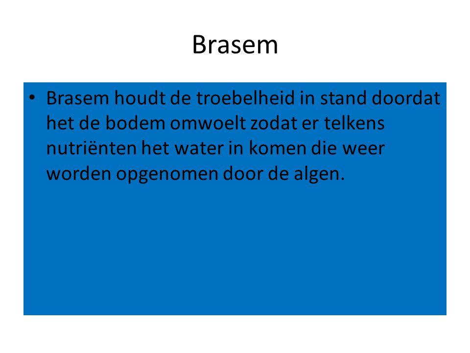 Brasem Brasem houdt de troebelheid in stand doordat het de bodem omwoelt zodat er telkens nutriënten het water in komen die weer worden opgenomen door de algen.