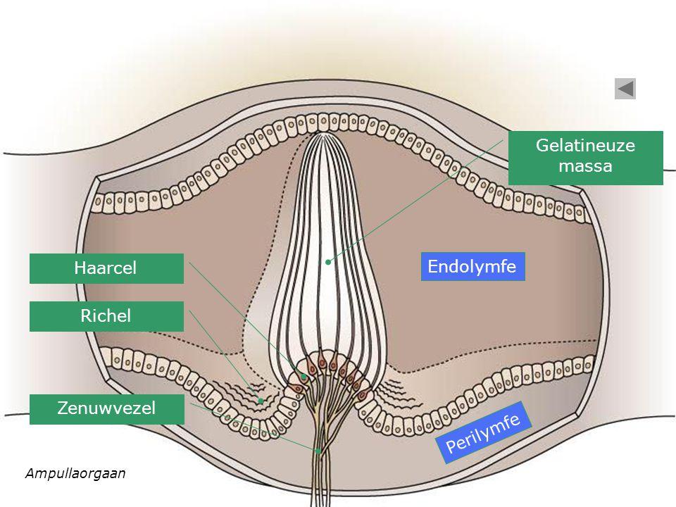 Ampullaorgaan Haarcel Richel Endolymfe Gelatineuze massa Perilymfe Zenuwvezel