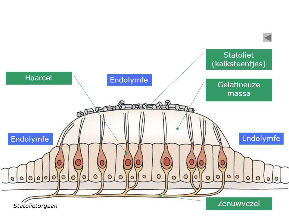 Inwendig oor (doorsnede) Benig labyrint met perilymfe Vliezig labyrint met endolymfe Ampullaorganen Statolietorganen