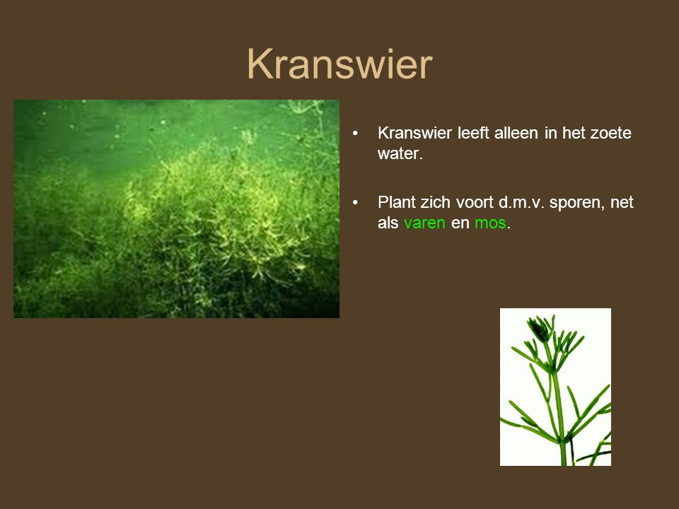Kranswier Kranswier leeft alleen in het zoete water.