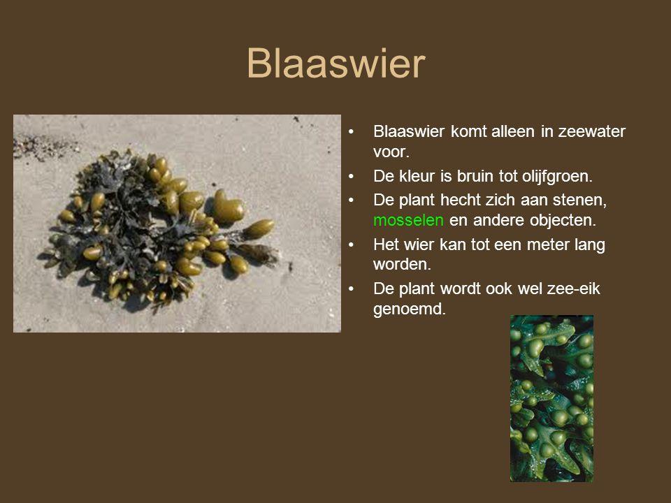 Blaaswier Blaaswier komt alleen in zeewater voor.De kleur is bruin tot olijfgroen.