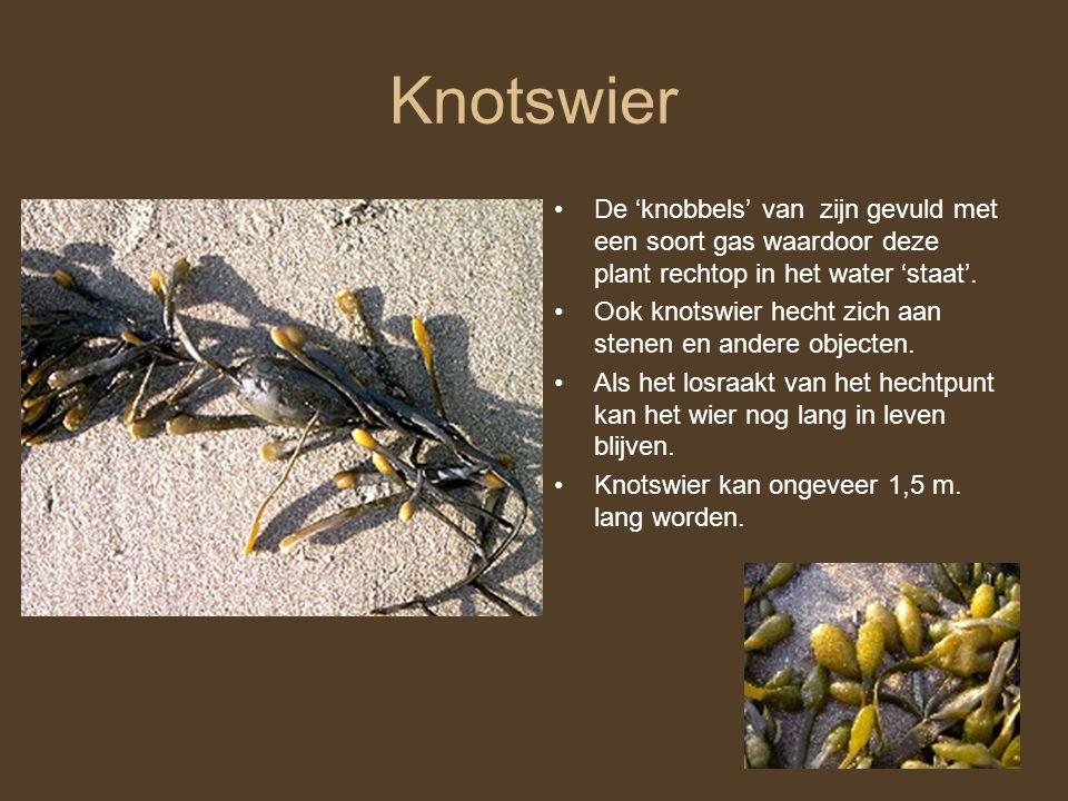 Knotswier De 'knobbels' van zijn gevuld met een soort gas waardoor deze plant rechtop in het water 'staat'.