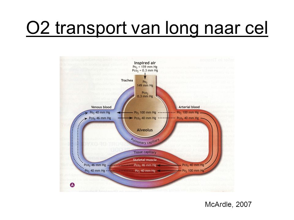 O2 transport van long naar cel McArdle, 2007