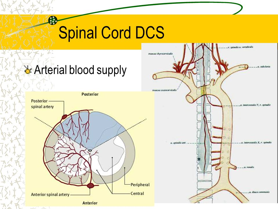 Arterial blood supply Spinal Cord DCS