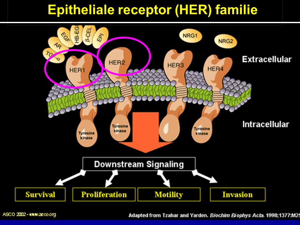 Epitheliale receptor (HER) familie
