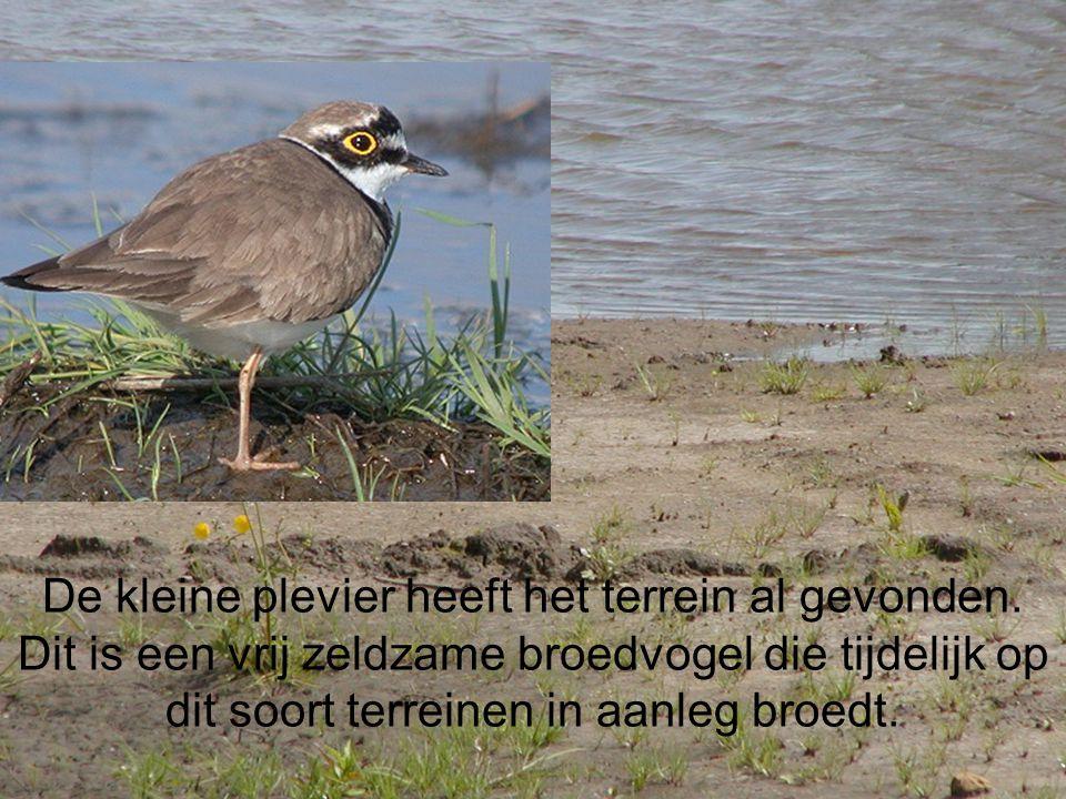 De kleine plevier heeft het terrein al gevonden. Dit is een vrij zeldzame broedvogel die tijdelijk op dit soort terreinen in aanleg broedt.