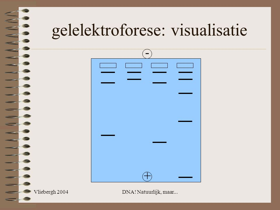 Vliebergh 2004DNA! Natuurlijk, maar... - + gelelektroforese: visualisatie