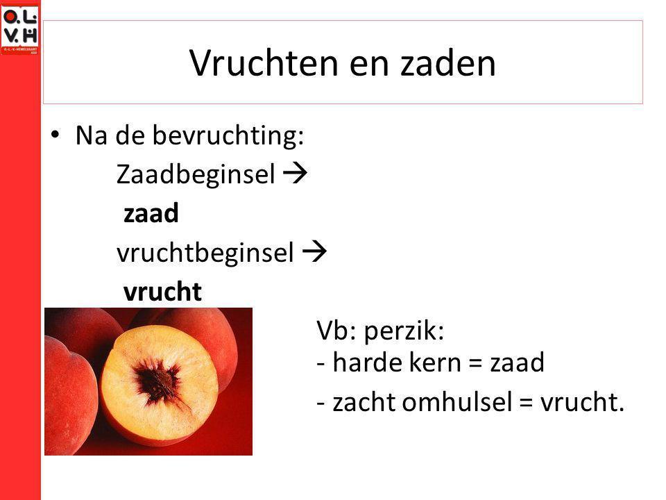 Vruchten en zaden Na de bevruchting: Zaadbeginsel  zaad vruchtbeginsel  vrucht Vb: perzik: - harde kern = zaad - zacht omhulsel = vrucht.