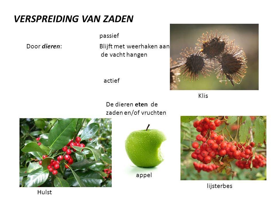 VERSPREIDING VAN ZADEN Door dieren: passief Blijft met weerhaken aan de vacht hangen actief De dieren eten de zaden en/of vruchten Klis Hulst appel lijsterbes