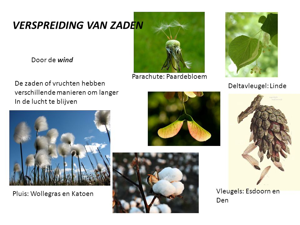 Door de wind De zaden of vruchten hebben verschillende manieren om langer In de lucht te blijven VERSPREIDING VAN ZADEN Parachute: Paardebloem Deltavl