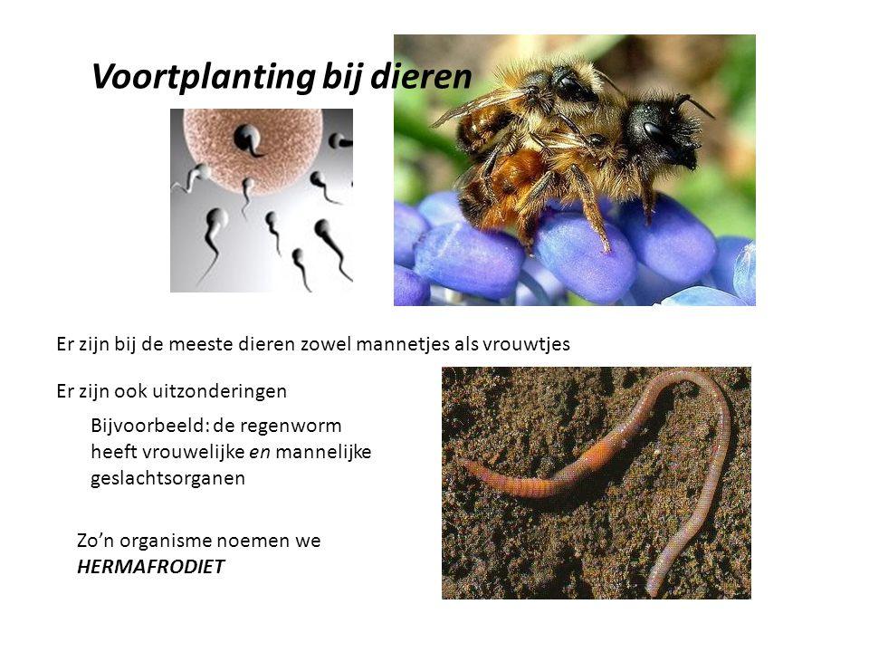 Voortplanting bij dieren Er zijn bij de meeste dieren zowel mannetjes als vrouwtjes Er zijn ook uitzonderingen Bijvoorbeeld: de regenworm heeft vrouwelijke en mannelijke geslachtsorganen Zo'n organisme noemen we HERMAFRODIET