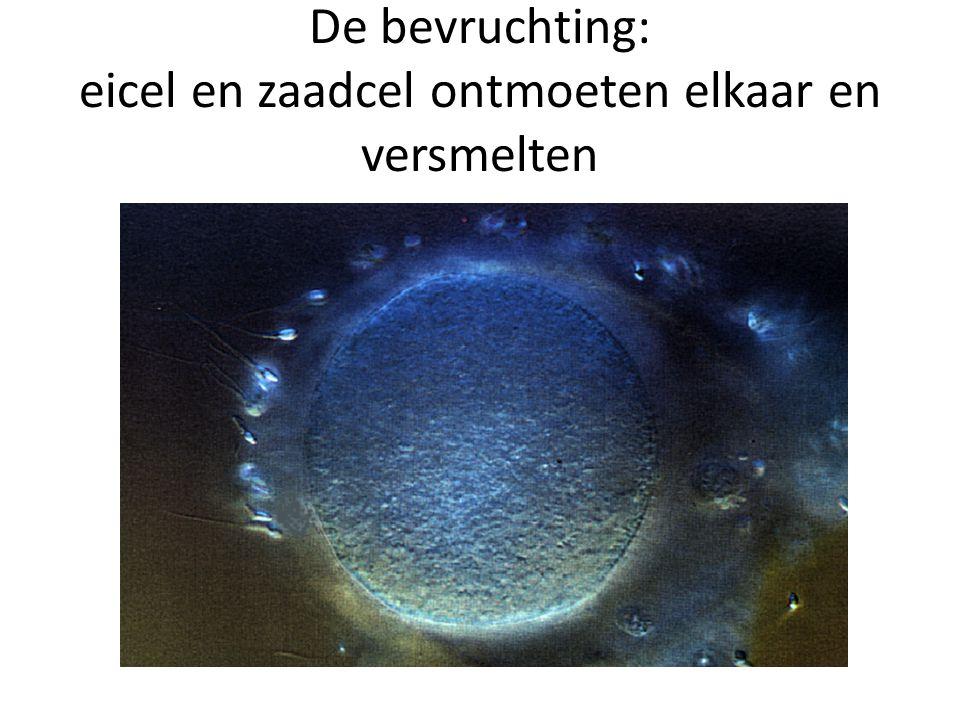 De bevruchting: eicel en zaadcel ontmoeten elkaar en versmelten
