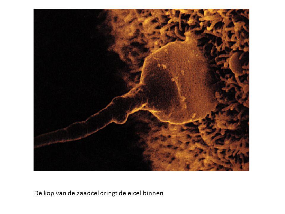 De kop van de zaadcel dringt de eicel binnen