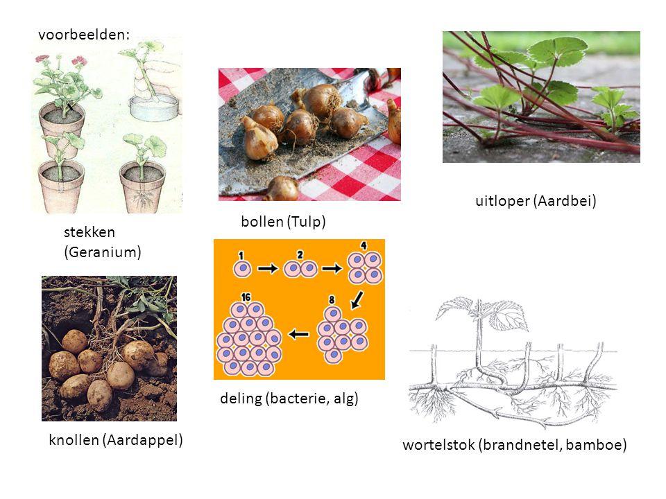 voorbeelden: stekken (Geranium) bollen (Tulp) uitloper (Aardbei) wortelstok (brandnetel, bamboe) deling (bacterie, alg) knollen (Aardappel)