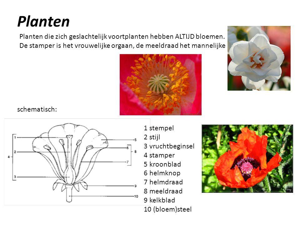 Planten Planten die zich geslachtelijk voortplanten hebben ALTIJD bloemen. De stamper is het vrouwelijke orgaan, de meeldraad het mannelijke schematis