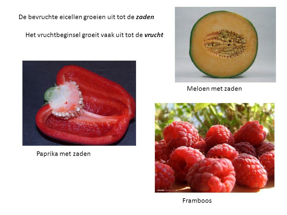 De bevruchte eicellen groeien uit tot de zaden Het vruchtbeginsel groeit vaak uit tot de vrucht Paprika met zaden Framboos Meloen met zaden
