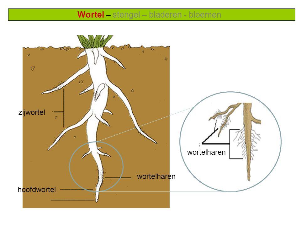 Wortel – stengel – bladeren - bloemen zijwortel wortelharen hoofdwortel wortelharen