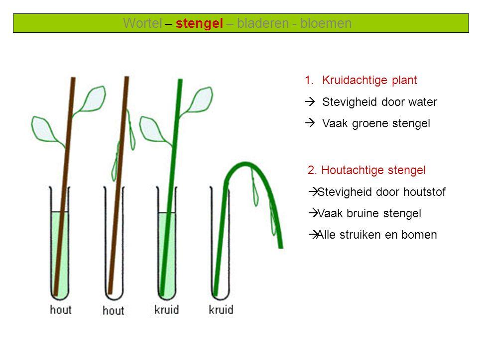 Wortel – stengel – bladeren - bloemen 1.Kruidachtige plant  Stevigheid door water  Vaak groene stengel 2.