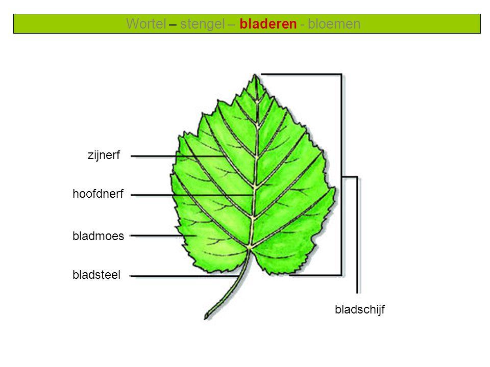 Wortel – stengel – bladeren - bloemen zijnerf hoofdnerf bladmoes bladsteel bladschijf